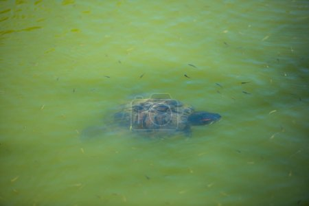 Photo for Turtle swimming in the pond - Royalty Free Image