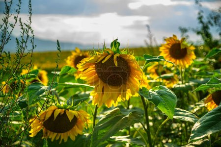 Photo for Sunflower field in the summer - Royalty Free Image