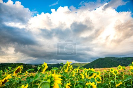 Photo for Field of sunflowers and blue sky - Royalty Free Image