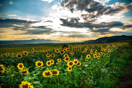 Photo for Sunset over the field of sunflowers - Royalty Free Image