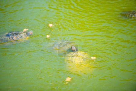 Photo for Turtles in the pond - Royalty Free Image