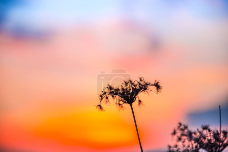 Photo for Dry flowers at the sunset - Royalty Free Image