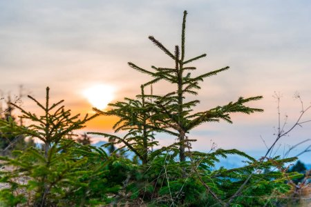 Photo for Silhouette of a pine tree with a blue sky - Royalty Free Image