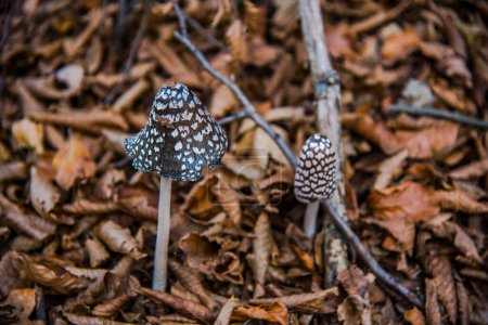 Photo for Mushrooms in the forest - Royalty Free Image