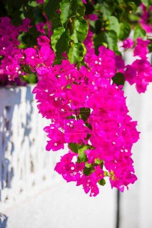 Photo for Beautiful mediterranean flowers in Zakynthos island, greece - Royalty Free Image