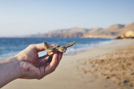 Photo pour Sauvetage d'une tortue verte. Main humaine tortue nouveau-né et les transporte vers la mer. Ras Al Jinz, Sultanat d'Oman - image libre de droit