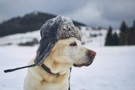 Foto de Divertido retrato de perro en Paisaje invernal escarchado. Labrador retriever con gorra en la cabeza - Imagen libre de derechos