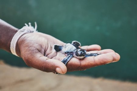 Photo for Rescue of one day old green turtle. Human hand holding newborn turtle in hatchery in Sri Lanka. - Royalty Free Image