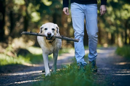 Man with dog in forest. Labrador retriever holding stick in mouth and walking with his owner on footpath in sunny day