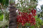 Pupunha fruits, peach palm - Bactris gasipaes Arecaceae family. Amazonas, Brazil