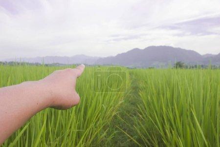 Photo pour Riz vert de nature classé avec la main point bleu ciel de paysage beuatiful fond - image libre de droit