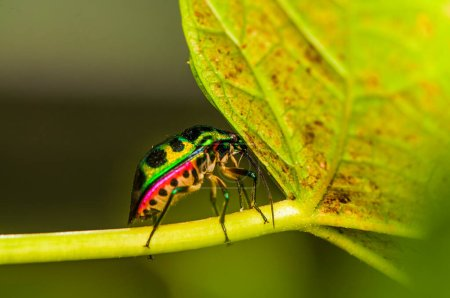 Jewel bug which belongs to the scutelleridae family and are actually true bugs / Jewel bug / They are often brilliantly colored, exhibiting a wide range of iridescent metallic hues, hence the name
