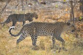 """Постер, картина, фотообои """"Леопард в Savuti Марш"""""""