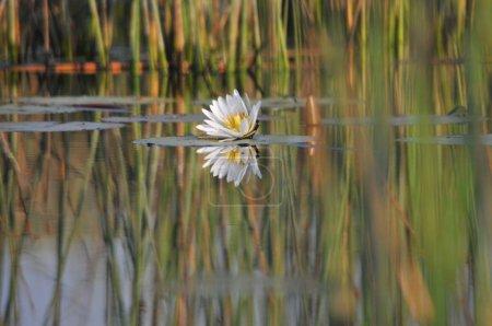 Photo pour Lis d'eau dans le delta de l'okavango - image libre de droit