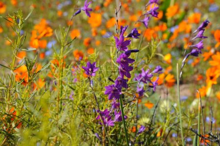 Photo for Flowers in the Namaqualand desert in South Africa - Royalty Free Image