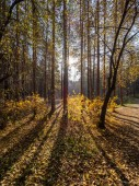 Autumn sun in the forest through the yellowing trees