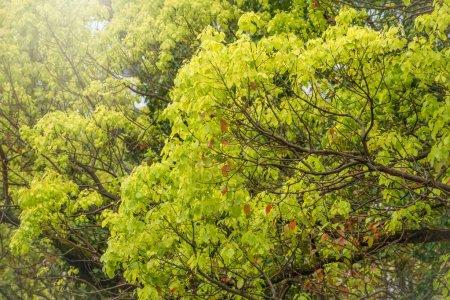 Photo pour Branches avec des feuilles jaunes vertes. Couleurs d'automne dans la forêt. Image de fond. - image libre de droit