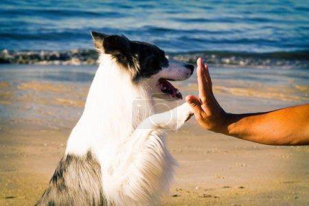 Photo pour Frontière collie chien donne patte son propriétaire gros plan avec main humaine - image libre de droit