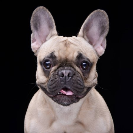 Photo for Portrait of an adorable French bulldog - isolated on black background. - Royalty Free Image
