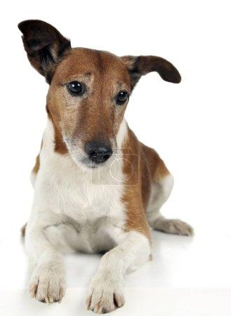 Jack Russell Terrier lying in the studio...