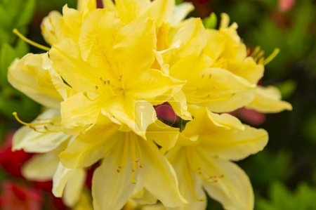 Photo for Blooming yellow garden flowers in spring on a sunny day. Background. - Royalty Free Image