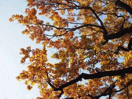 Photo pour Belle vue de bas en haut sur les cimes des chênes à l'automne doré - image libre de droit