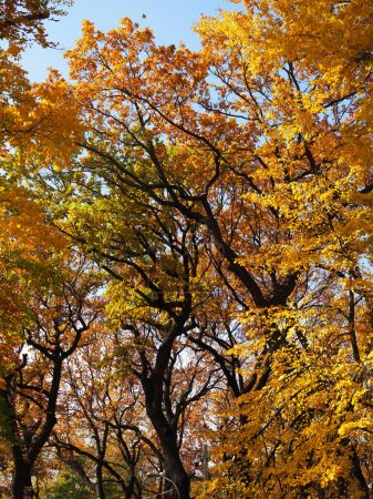Photo pour Beautiful view from the bottom up on the crowns of oak trees in the Golden autumn - image libre de droit