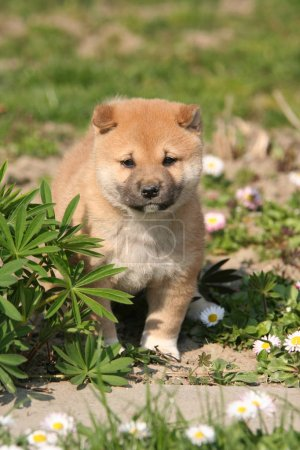 Portrait of lovely puppy - shiba inu