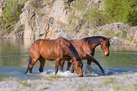 Photo pour Deux chevaux bruns dans l'eau - image libre de droit