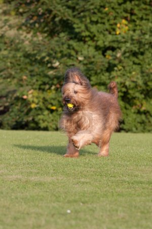 Photo for Nice briard running at nature outdoors - Royalty Free Image
