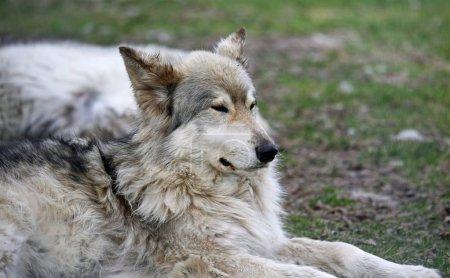 Photo pour Jeune chien-loup endormi - Yamnuska Wolfdog Sanctuary - Cochrane, Alberta, Canada - image libre de droit