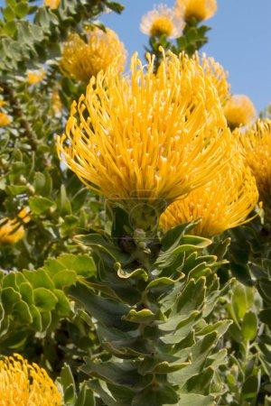 Photo for Closeup of a bush of beautiful yellow Protrea pincushion flowers - Royalty Free Image