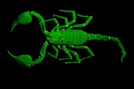 Photo for Pinned emperor scorpion (Pandinus imperator) under UV light. - Royalty Free Image