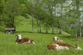Cows resting in nature