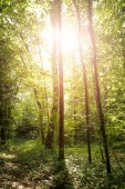 Impressive trees in the forest. Fresh green leaves and sunshine,