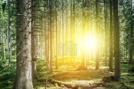 Photo pour Des épinettes impressionnantes dans la forêt, la spiritualité et la thérapie du bois - image libre de droit