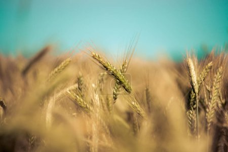 Photo for Close up of ripe ears of wheat in autumn - Royalty Free Image