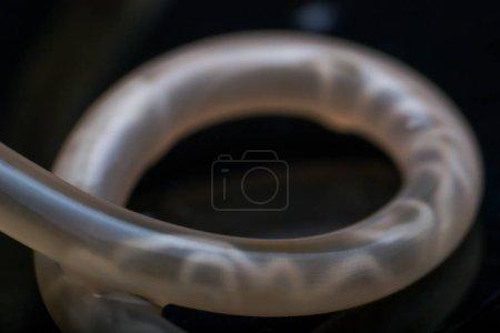 Photo pour Macro photo de Toxocara canis ver rond d'un chien - image libre de droit