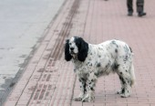 English setter dogs were used for hunting birds with nets due to their practice of setting low. Later, with the development of gun, they were used as pointers. Many of them are left astray due to hunting limits or consumerist hunting.