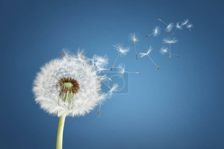 Dandelion with seeds blowing away in the wind acro...
