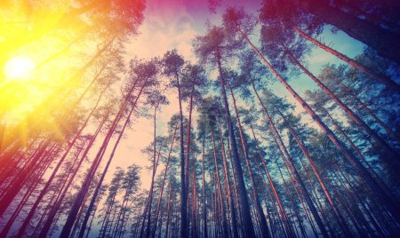 Photo for Rural landscape of pine woods and sunny day - Royalty Free Image