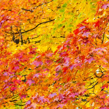 Photo for Red and yellow autumn maple leaves - Royalty Free Image