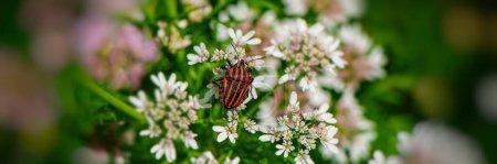 Photo pour Insecte est assis sur des fleurs de prairie. Contexte naturel. Bannière Web . - image libre de droit