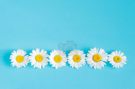 Photo for Chamomile flowers row on blue trendy pastel background. Flower mockup flat lay top view frame composition with copy space. - Royalty Free Image