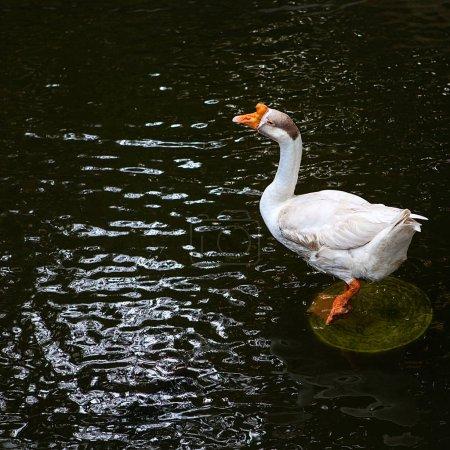Foto de Ganso blanco grande en el estanque . - Imagen libre de derechos