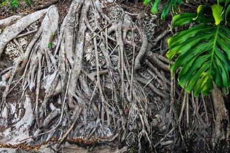 Photo pour Arbre centenaire avec grand tronc et grandes racines au-dessus du sol . - image libre de droit