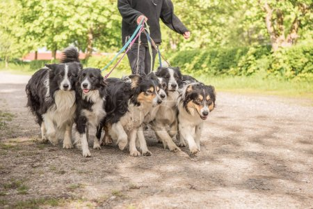 Woman walks with many dogs on a leash. A pack of o...