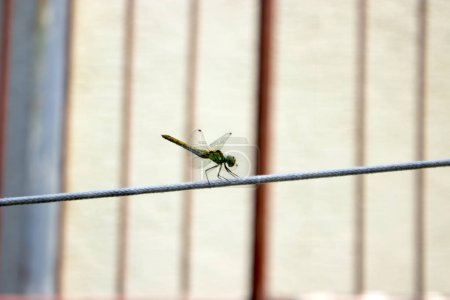 Photo for Close-up view of giant dragonfly walking on the wire - Royalty Free Image