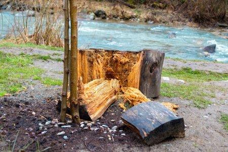 Photo pour Gros morceaux de bois coupés d'une grande bûche d'arbre, à côté d'un tronc d'arbre mince et jeune, avec un ruisseau d'eau en arrière-plan. Concept pour la continuation, les générations, la durabilité, l'exploitation forestière. - image libre de droit
