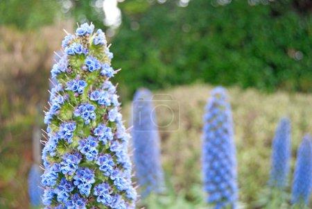 Photo pour Gros plan d'une fierté bleue de Madère Echium candicans - image libre de droit